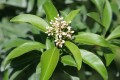 Ardisia escallonioides (Marlberry)