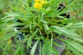 Solidago spp. (Goldenrod)